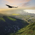 A corbeau glides over the Northern Range toward Port of Spain, Trinidad. Photo by Chris Anderson