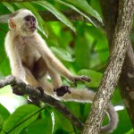 A white fronted capuchin monkey in Bush Bush Sanctuary, Trinidad. Photo by Stephen Broadbridge