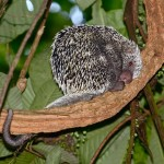 A porcupine in the Brasso Seco forest, Trinidad. Photo by Stephen Broadbridge