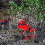 Young scarlet ibis (distinguished by the dark feathers among the red ones) feed on the Caroni Swamp mudflats. Photo by Chris Anderson