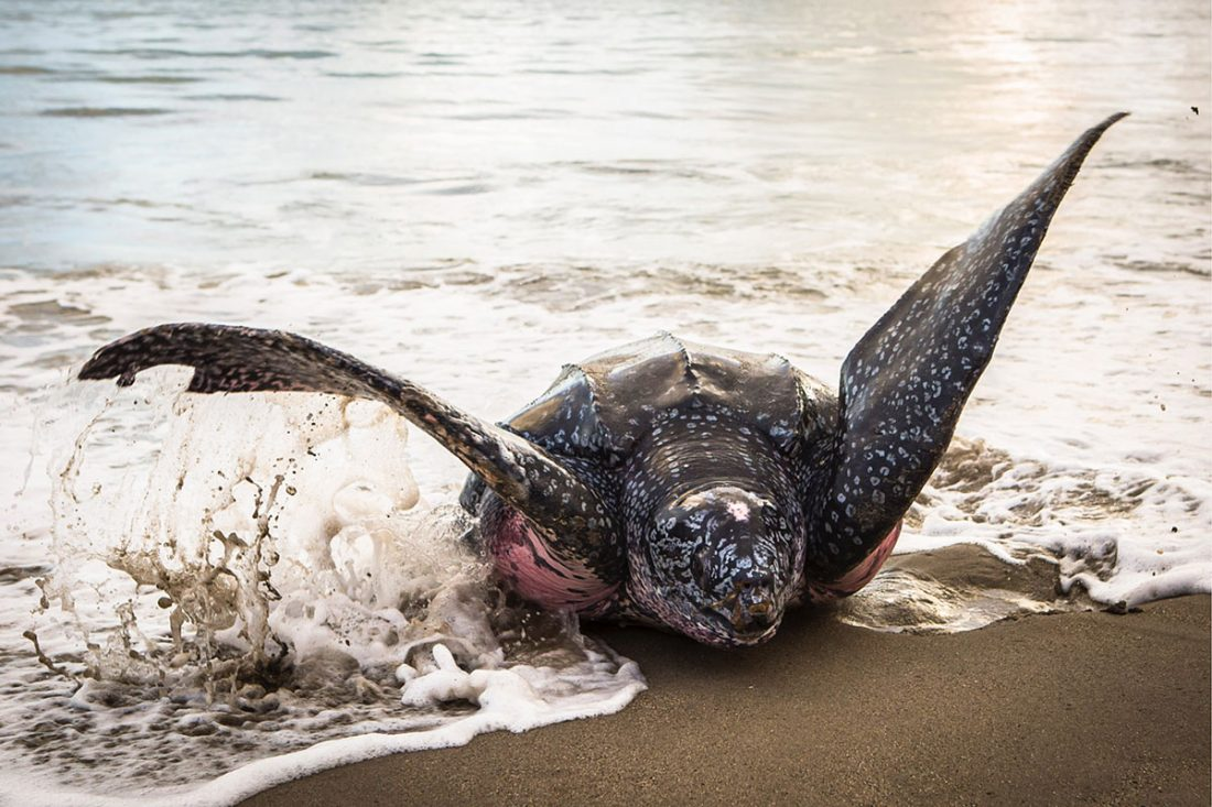 A giant leatherback turtle heaves her bulk out of the water to nest. Photo courtesy the TDC