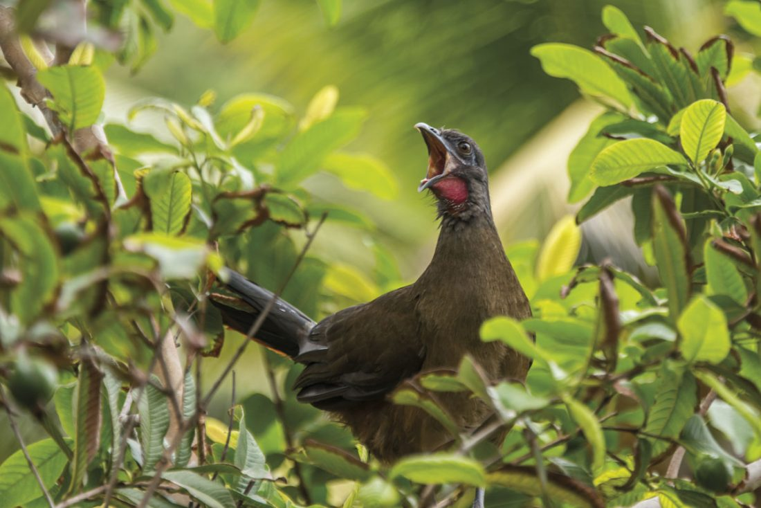 A Rufous vented chachalaca (Ortalis ruficauda) or cocrico shouts from a guava tree at Blue Waters Inn, Speyside. Photo by Rapso Imaging