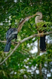 Anhingas at Pointe-à-Pierre Wildfowl Trust. Photo by Chris Anderson