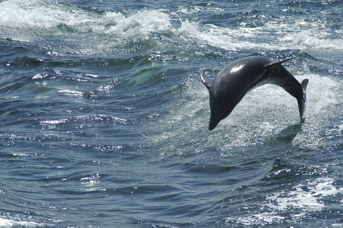 A dolphin plays in the wake of a boat 'Down de Islands' (DDI). Photo by Rapso Imaging