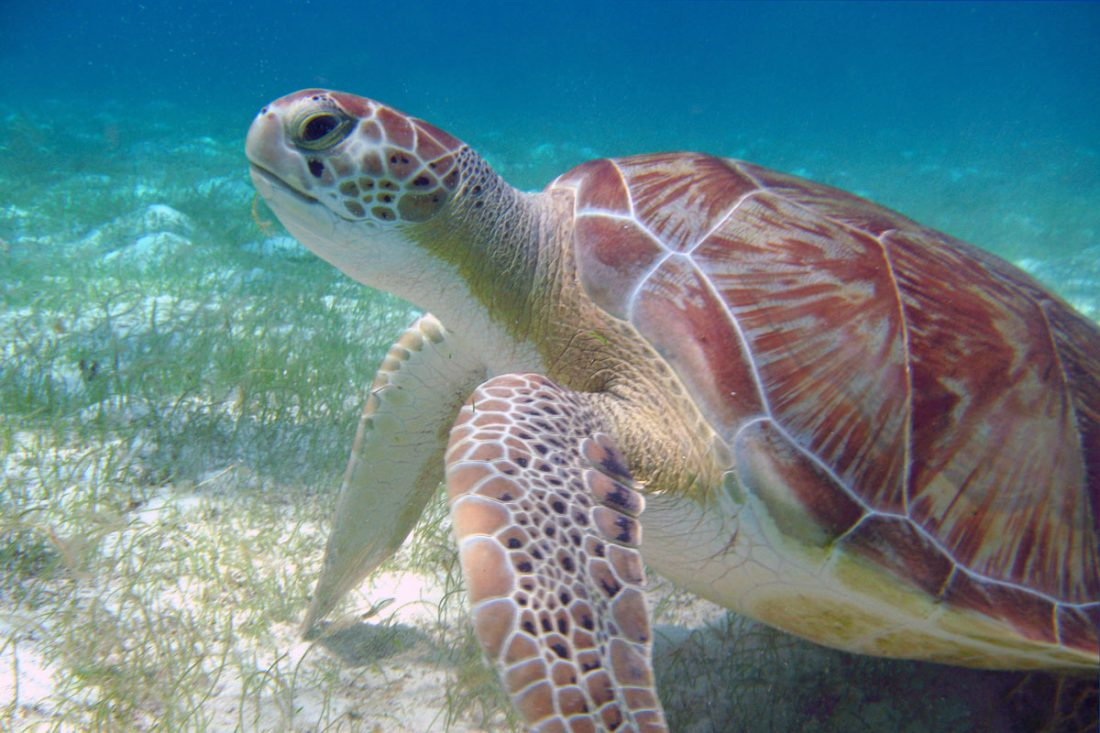 Green turtles can often be seen on sea grass beds where they feed. Photo by Rapso Imaging