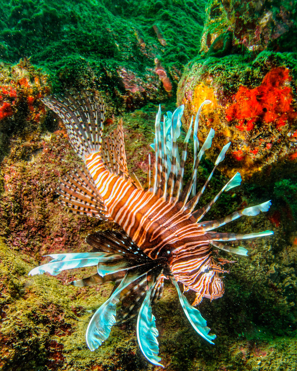 The aggressive Red lionfish (spotted here at Culloden Reef) is an invasive species that arrived in Tobago waters in 2012. It can decimate native reef populations if not kept in check. Good news though: they're delicious! Photo by Jonathan Gomez
