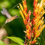 Little hermit hummingbird feeding on sanchezia flowers at Yerette. Photo by Rapso Imaging