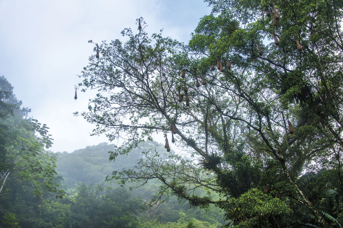 Oropendula (corn bird) nests and epiphytes adorn the trees in the Main Ridge Forest Reserve, Tobago. Photo by Rapso Imaging