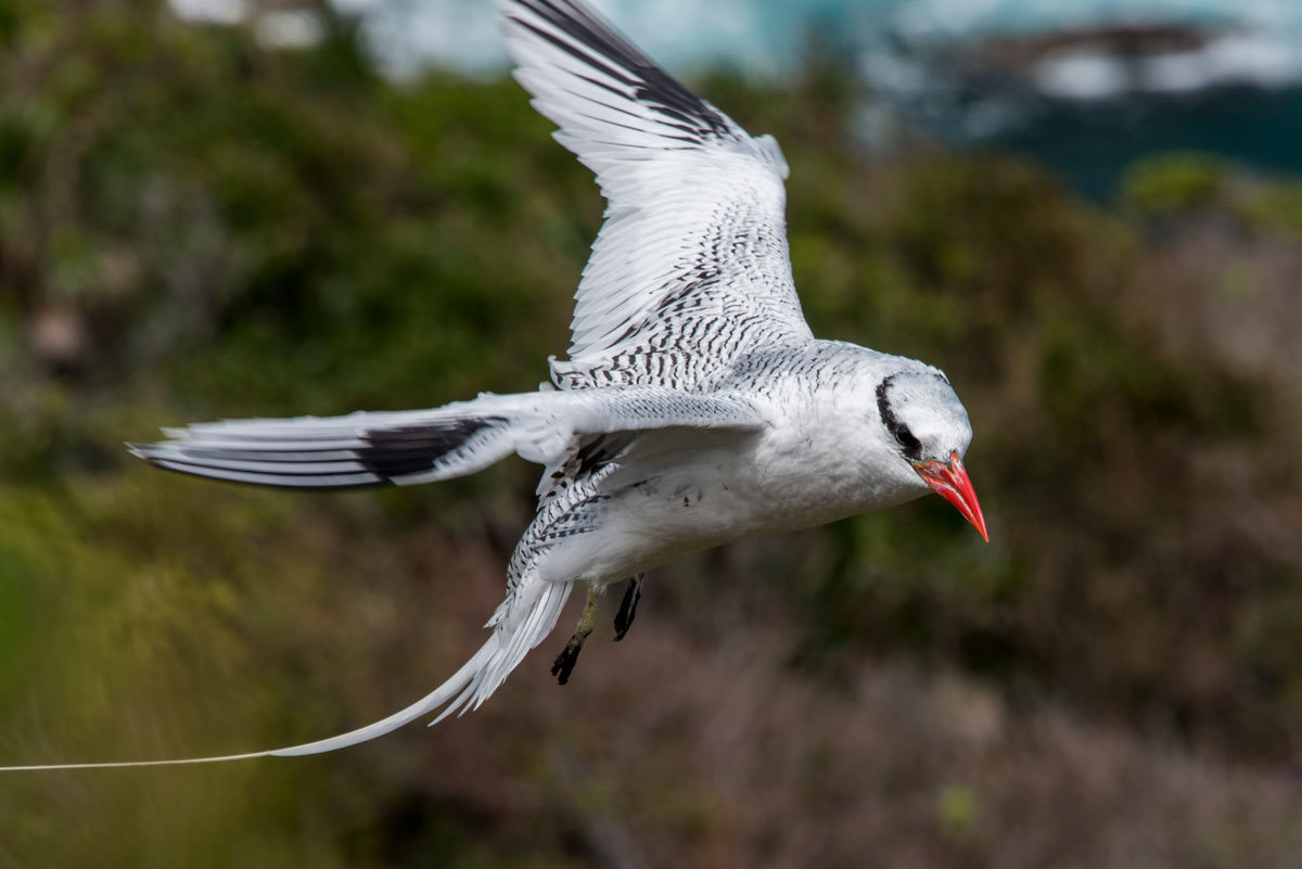 A Red-billed tropicbird swoops into her nest on the cliffs of Little Tobago. Photo by Rapso Imaging