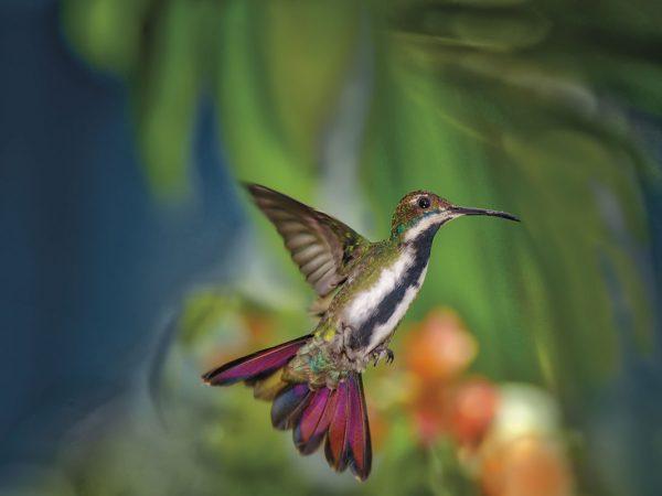 A Black-throated mango hummingbird at Adventure Eco Villas, Tobago. Photo by Chris Anderson