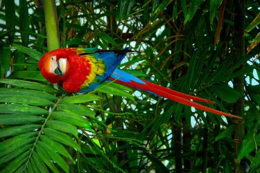 A scarlet macaw. Photo by Chris Anderson