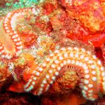 The bearded fireworm, while pretty to look at, is a voracious predator and can give a swimmer a nasty sting. Photo by Lynsey Allan/shutterstock.com