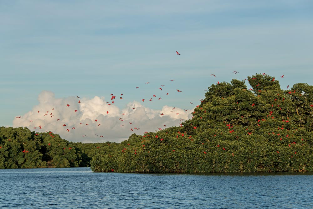 Scarlet ibis fly home to roost in the Caroni Swamp & Bird Sanctuary. Photo by Rapso Imaging