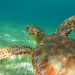 Green turtle at Speyside. Photo by Rapso Imaging