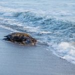 A female leatherback turtle returns to the ocean after nesting at Grand Rivière. Photo by Rapso Imaging