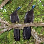 Rare and protected birds – the Trinidad piping guan. Photo by Rapso Imaging