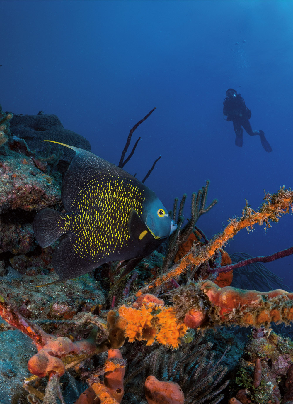 A diver spots a French angelfish at Japanese Gardens, Speyside. Photo by Kadu Pinheiro