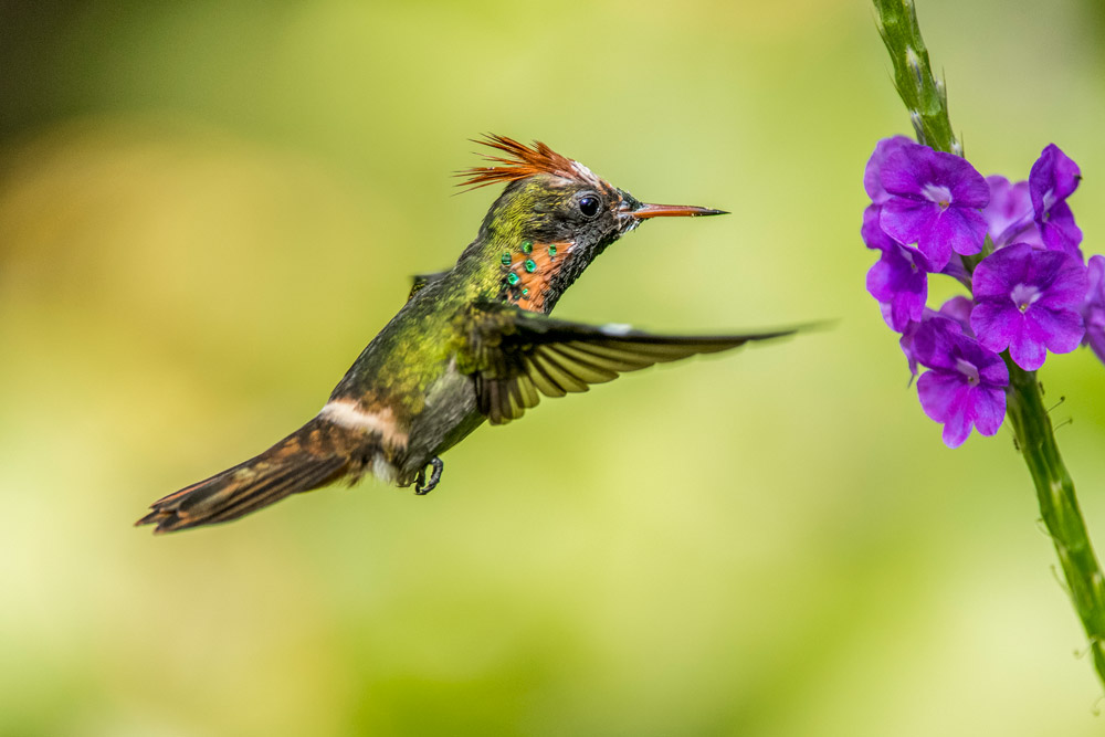 Tufted coquette. Photo by Rapso Imaging