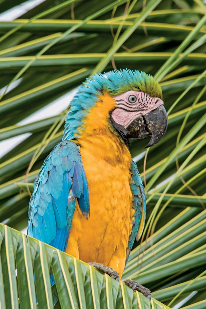 Rare and protected birds – blue and gold macaw. Photo by Rapso Imaging
