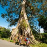 Children in the MaB community of Moriah walk past the village's iconic Silk Cotton tree – one of the oldest and tallest trees on the island.
